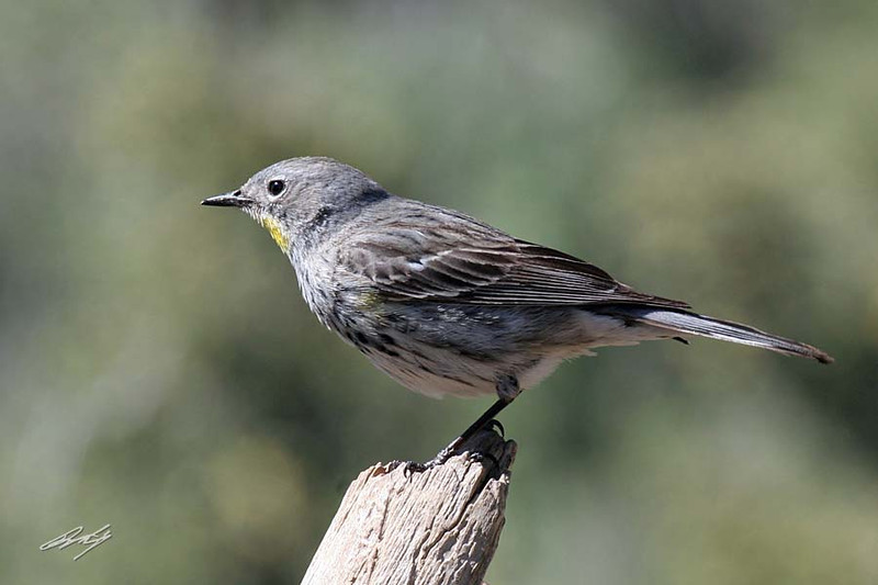 Yellow-rumped Warbler, Audubon's, female, Cabin Lake, Oregon.