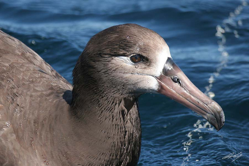 Black-footed Albatross, Pacific Ocean SW of Newport, Oregon.