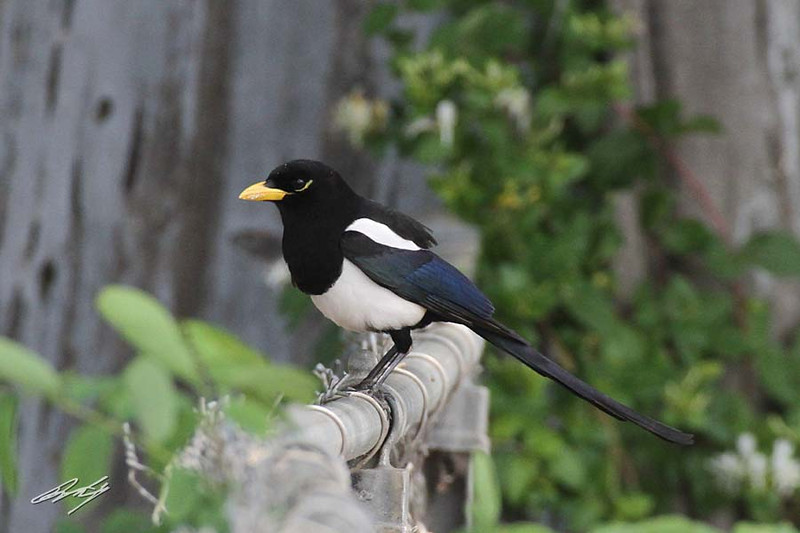 Yellow-billed Magpie, Redding, California.
