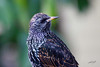 European Starling, Portland, Oregon.