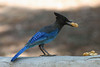Steller's Jay, Visitor Center, Mt. Baldy, California.