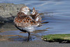 Dunlin, Tokeland Point, Tokeland, Washington.