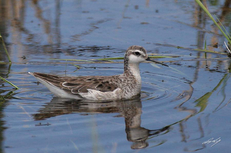 Wilson's Phalarope, male breeding, Highway 229, Nevada.