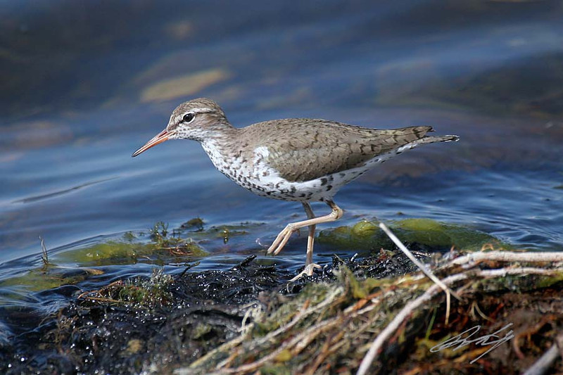 Spotted Sandpiper, breeding, Ruby Lake NWR,Ruby Lake, Nevada.