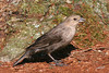 Brown-headed Cowbird, female, Capitol Lake, Olympia, Washington.