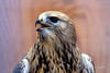 Rough-legged Hawk, injured captive. World Center for Birds of Prey, Boise, Idaho.