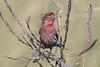 House Finch, male, Mendota State Park, Los Banos, California.