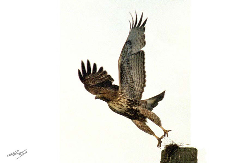 Red-tailed Hawk, Harlan's (Harlani) sub-sp, Hurricane Creek, Enterprise, Oregon.