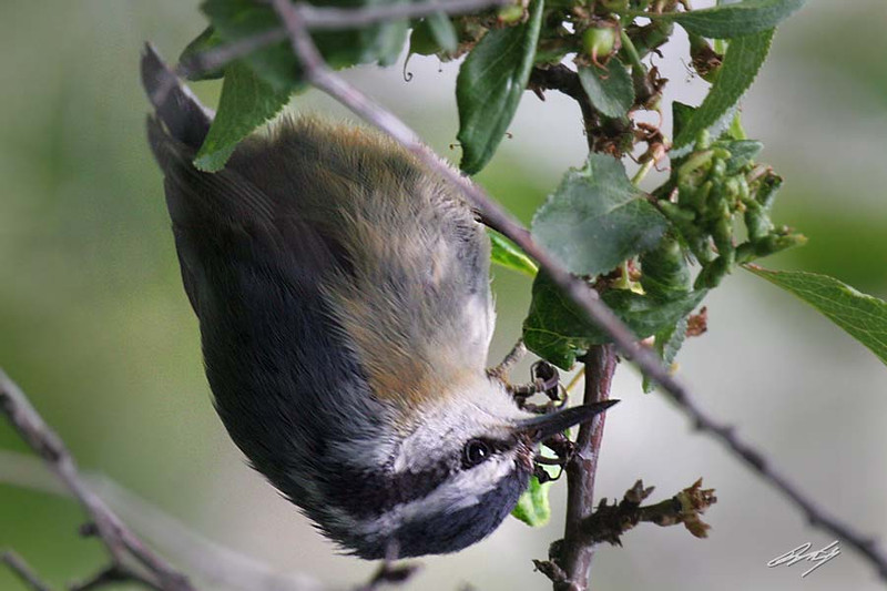 Red-breasted Nuthatch, Malheur NWR, Burns, Oregon.