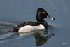 Ring-necked Duck, male, Ridgefield NWR, Ridgefield, Washington.