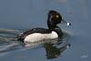 Ring-necked Duck, male, Ridgefield NWR, Ridgefield, Washington.