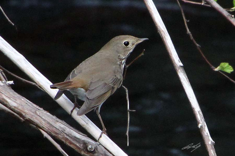 Swainson's Thrush, Dallas, Oregon.