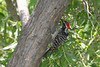 Nuttall's Woodpecker, male, Chino Hills State Park, Chino, California.
