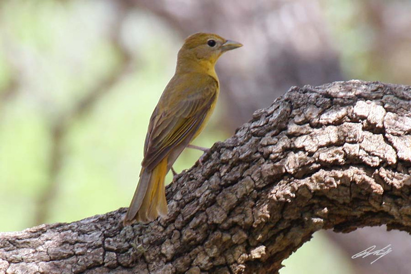 Summer Tanager, female, I-77 Rest Stop, near Armstrong, Texas.