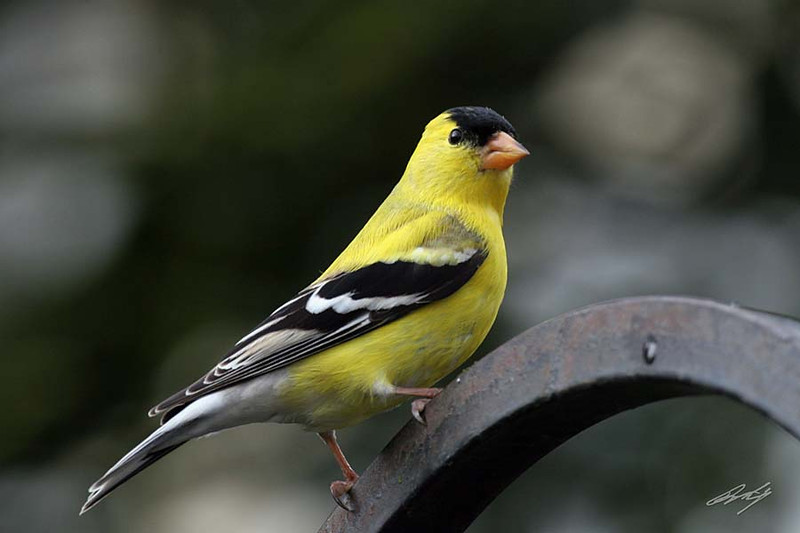 American Goldfinch, male, Portland, Oregon.