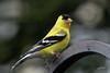 American Goldfinch, male, Portland, Oregon.