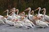 American White Pelican, Long Lake NWR, Sterling, North Dakota.
