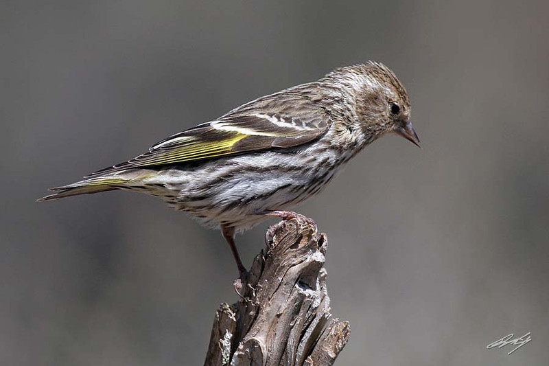 Pine Siskin, Cabin Lake, Oregon.