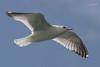 Mew Gull, Tokeland Point, Tokeland, Washington.