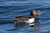 Horned Puffin, Pacific Ocean SW of Newport, Oregon.
