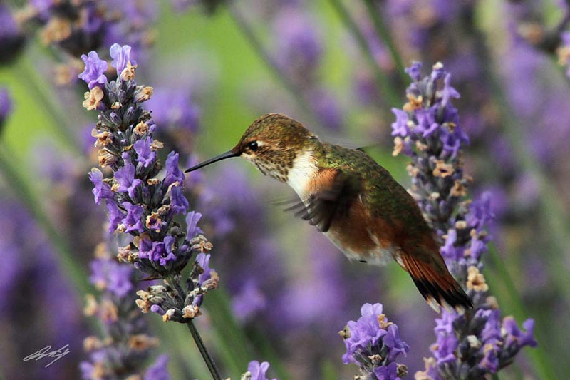 Rufous Hummingbird, Orcas Island, Washington.