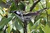 Chestnut-sided Warbler, Laguna Atascosa NWR, Texas.