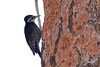 Black-backed Woodpecker, Thompson Reservoir, Silver Lake, Oregon.