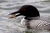 Common Loon anticipating dinner, Tokeland Point, Tokeland, Washington.