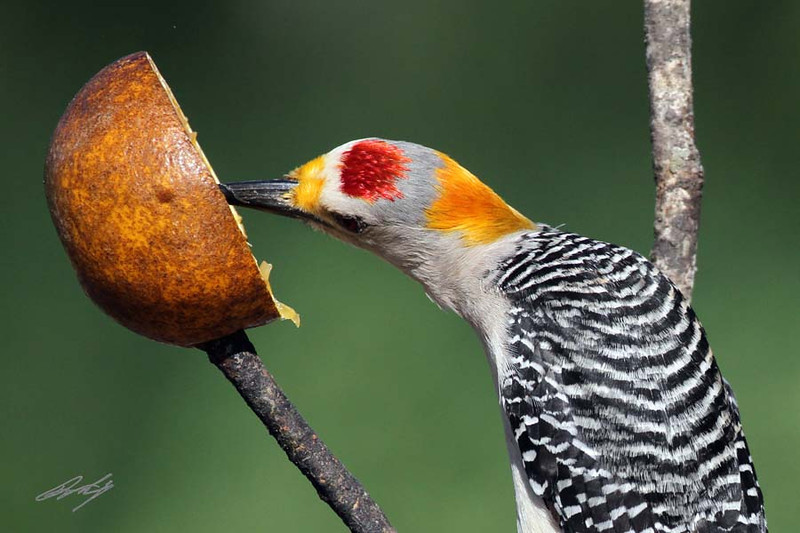 Golden-fronted Woodpecker, male, Weaver Cattle Company, Raymondville, Texas.