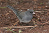 Dark-eyed Junco, Slate-colored sub-sp, Portland, Oregon.