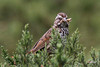 Song Sparrow, California Coast sub-sp, Elkhorn Slough State Preserve, Castroville, California.