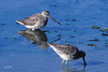 Long-billed Dowitcher, Bolinas Lagoon, Bolinas, California.