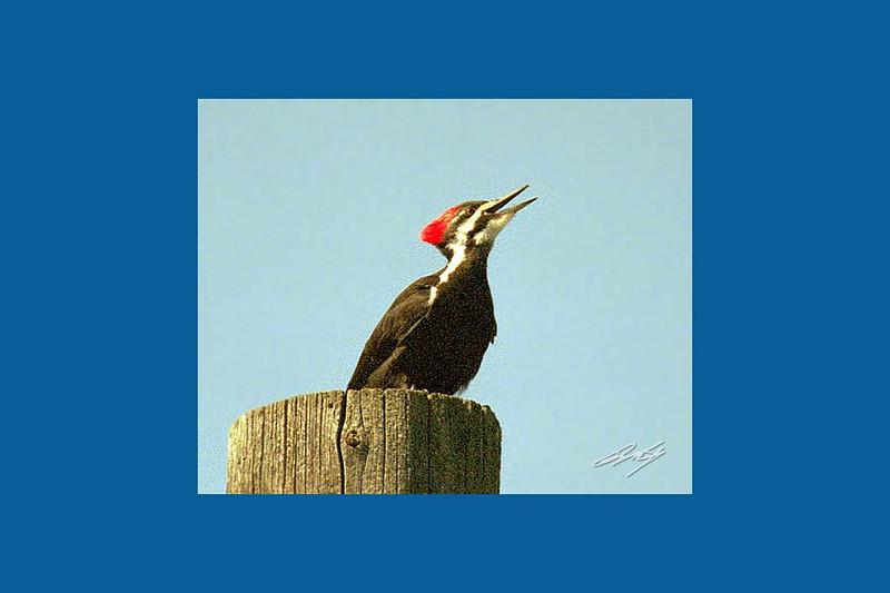Pileated Woodpecker, Enterprise, Oregon