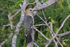Golden-fronted Woodpecker, female, Laguna Atascosa NWR, Texas