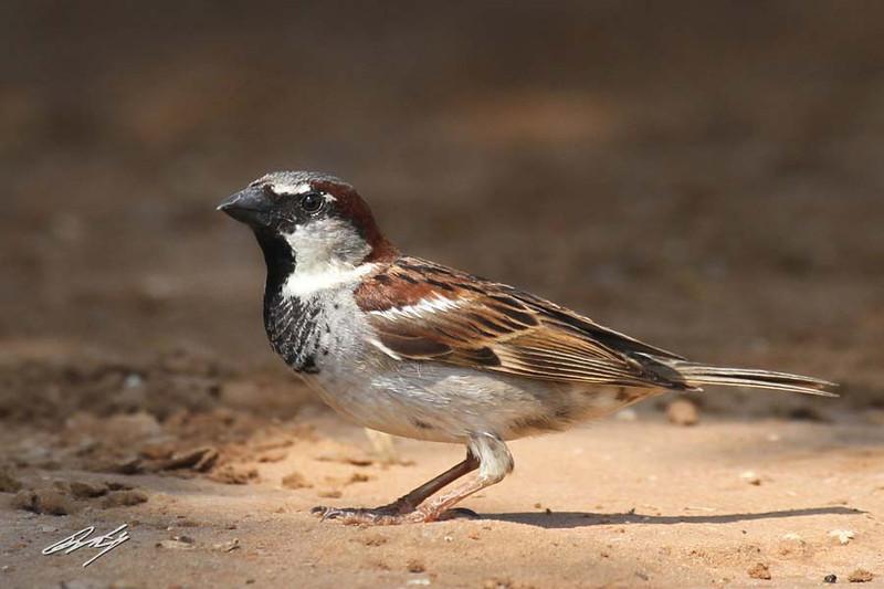 House Sparrow, male, Santa Clara Ranch, McCook, Texas. (aka Eurasian Weaver-Finch, fka English Sparrow.)