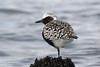 Black-bellied Plover, Bottle Beach, Westport, Washington.