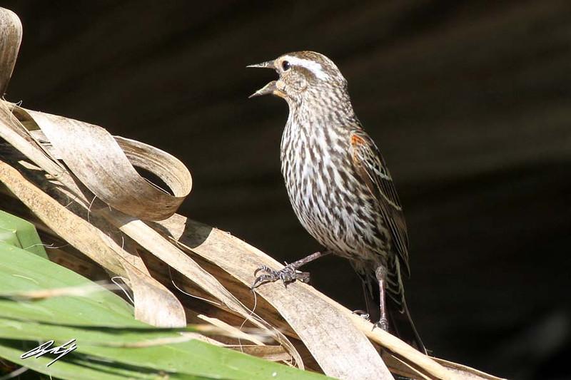 Red-winged Blackbird, female, Martin Refuge, Edinburg, Texas.