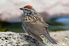 Chipping Sparrow, Cabin Lake, Oregon.