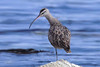 Whimbrel, Cyprus Point, Pebble Beach, California.