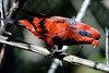 Blue-streaked Lory, Oregon Zoo, Portland, Oregon.