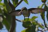 Ruby-throated Hummingbird, female, Laguna Atascosa NWR, Texas.