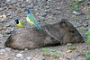 Green Jay, Laguna Atascosa NWR, Texas. Ticks on the Javalina were providing handy snacks for the Jays.