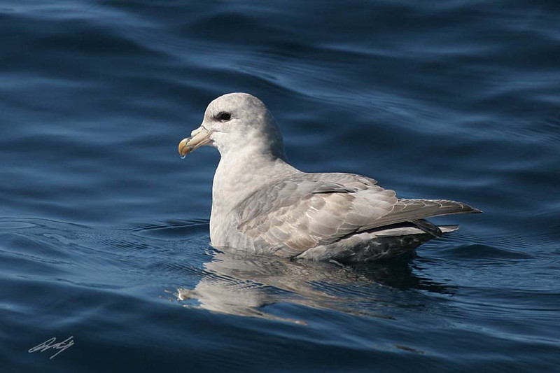 Northern Fulmar, light phase, Pacific Ocean SW of Newport, Oregon.