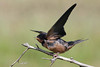 Barn Swallow, Padilla Bay, Washington.