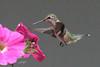 Rufous Hummingbird, juvenile, Green Road, Newport, Washington.