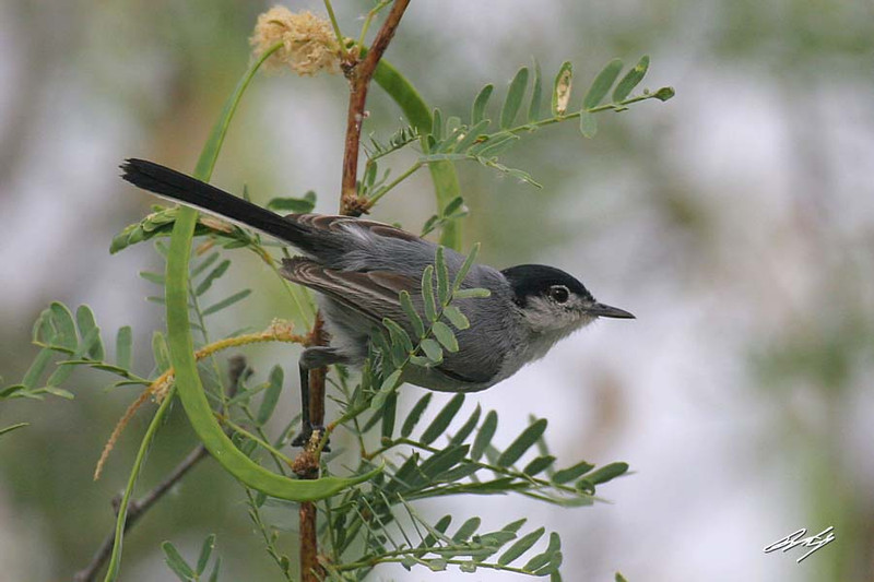 Black-tailed Gnatcatcher, Havasu NWR,Golden Shores, Nevada.