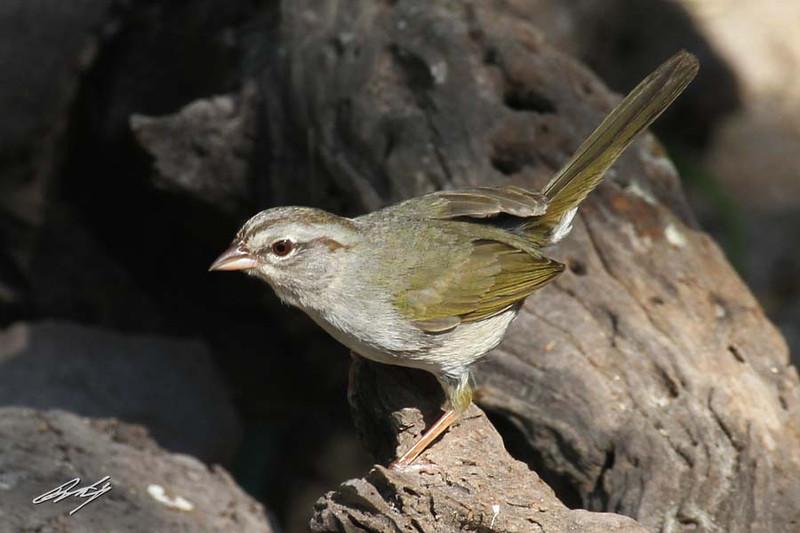 Olive Sparrow, Martin Refuge, Edinburg, Texas.