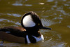 Hooded Merganser, male, Laurelhurst Park, Portland, Oregon.