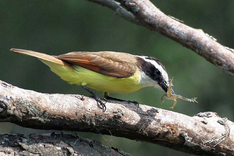 Great Kiskadee anticipating a frog dinner. Santa Clara Ranch, McCook, Texas.
