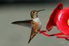 Rufous Hummingbird, female, Daniel's Creek Road, Coos Bay, Oregon.